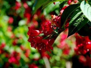 Oldfashioned Weigela