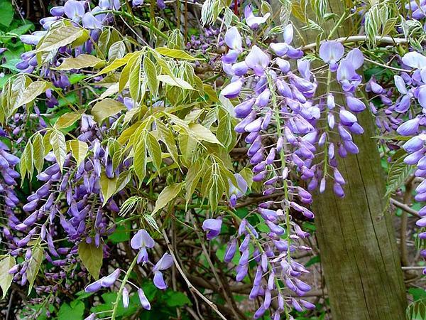 Japanese Wisteria (Wisteria Floribunda) http://www.sagebud.com/japanese-wisteria-wisteria-floribunda