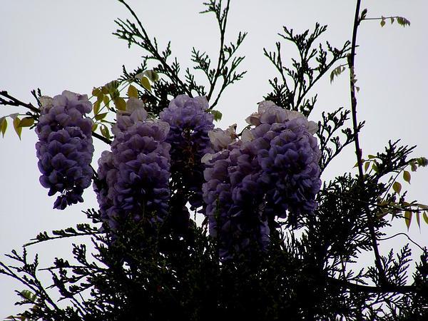 American Wisteria (Wisteria Frutescens) http://www.sagebud.com/american-wisteria-wisteria-frutescens/