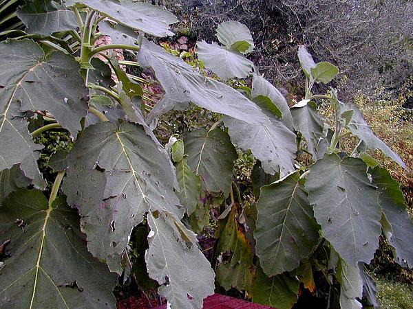 Wigandia (Wigandia) http://www.sagebud.com/wigandia-wigandia/