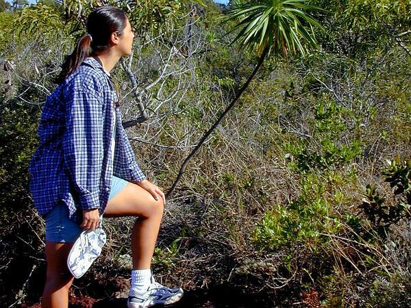 Iliau (Wilkesia Gymnoxiphium) http://www.sagebud.com/iliau-wilkesia-gymnoxiphium