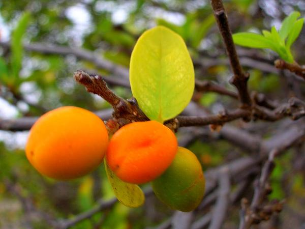 False Ohelo (Wikstroemia) http://www.sagebud.com/false-ohelo-wikstroemia/