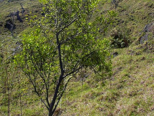Montane False Ohelo (Wikstroemia Monticola) http://www.sagebud.com/montane-false-ohelo-wikstroemia-monticola