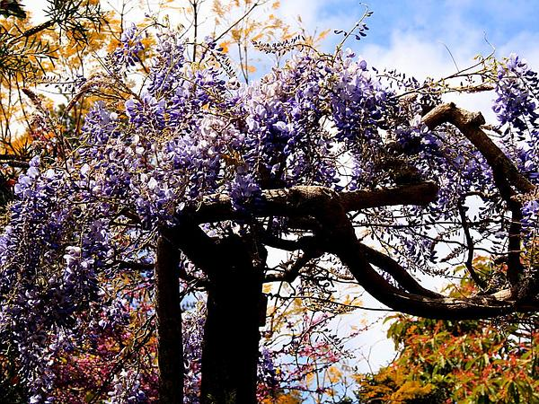 Chinese Wisteria (Wisteria Sinensis) http://www.sagebud.com/chinese-wisteria-wisteria-sinensis