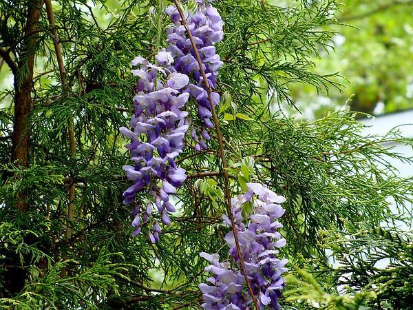 Wisteria (Wisteria) http://www.sagebud.com/wisteria-wisteria/