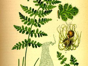 WOAL/Illustration_Woodsia_alpina0_300.jpg