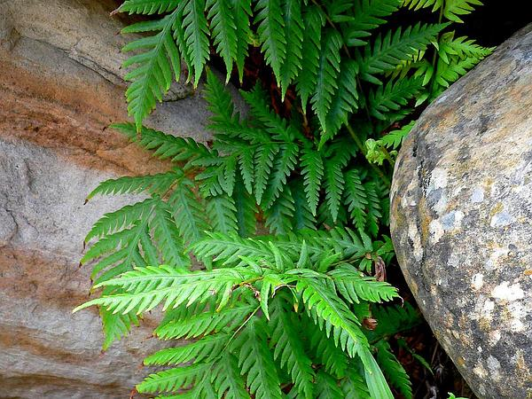 Giant Chainfern (Woodwardia Fimbriata) http://www.sagebud.com/giant-chainfern-woodwardia-fimbriata/