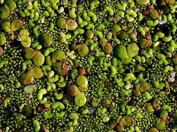 Watermeal (Wolffia) http://www.sagebud.com/watermeal-wolffia