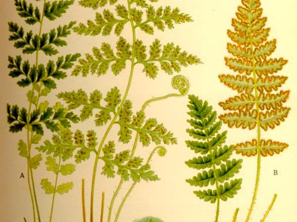 Cliff Fern (Woodsia) http://www.sagebud.com/cliff-fern-woodsia