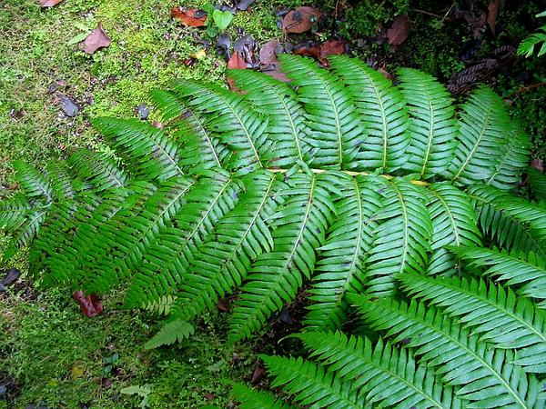 Chainfern (Woodwardia) http://www.sagebud.com/chainfern-woodwardia/
