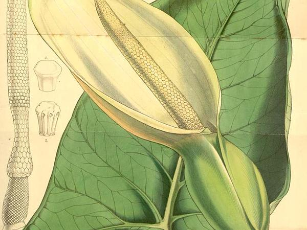 Elephant's Ear (Xanthosoma) http://www.sagebud.com/elephants-ear-xanthosoma