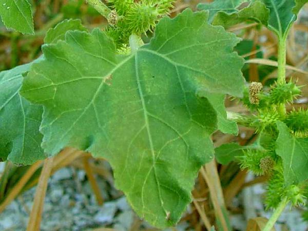 Rough Cocklebur (Xanthium Strumarium) http://www.sagebud.com/rough-cocklebur-xanthium-strumarium/