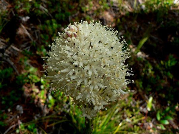 Beargrass (Xerophyllum) http://www.sagebud.com/beargrass-xerophyllum