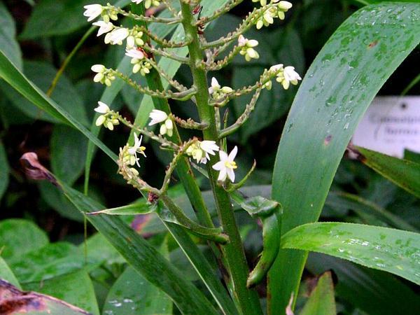 Xiphidium (Xiphidium) http://www.sagebud.com/xiphidium-xiphidium/