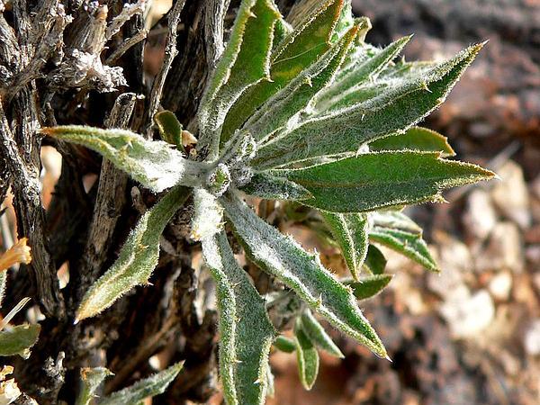 Woodyaster (Xylorhiza) http://www.sagebud.com/woodyaster-xylorhiza