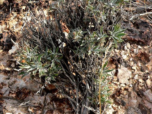 Mojave Woodyaster (Xylorhiza Tortifolia) http://www.sagebud.com/mojave-woodyaster-xylorhiza-tortifolia
