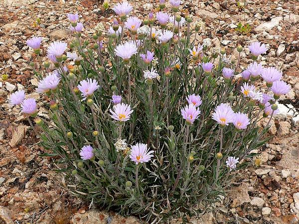 Mojave Woodyaster (Xylorhiza Tortifolia) http://www.sagebud.com/mojave-woodyaster-xylorhiza-tortifolia/