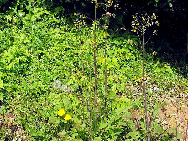 Oriental False Hawksbeard (Youngia Japonica) http://www.sagebud.com/oriental-false-hawksbeard-youngia-japonica/