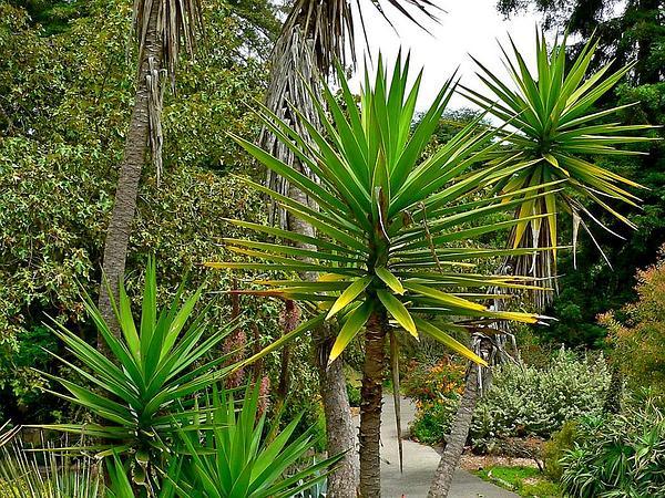 Aloe Yucca (Yucca Aloifolia) http://www.sagebud.com/aloe-yucca-yucca-aloifolia