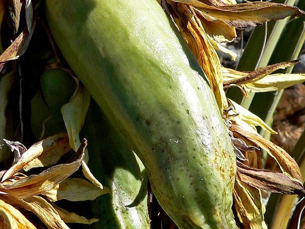 Banana Yucca (Yucca Baccata) http://www.sagebud.com/banana-yucca-yucca-baccata