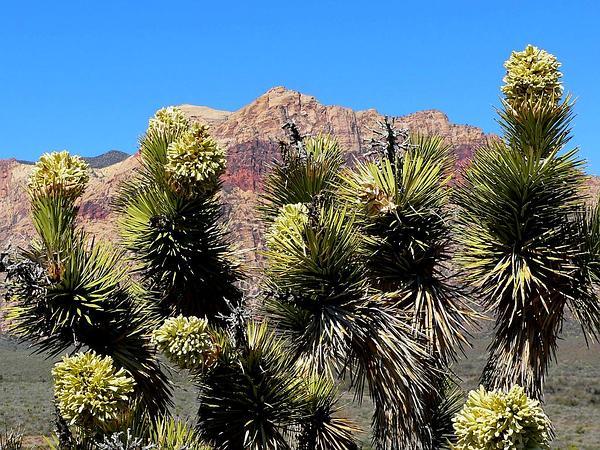 Joshua Tree (Yucca Brevifolia) http://www.sagebud.com/joshua-tree-yucca-brevifolia/