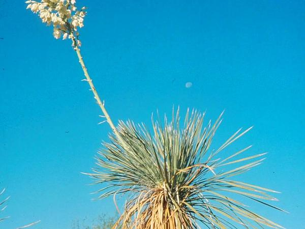 Soaptree Yucca (Yucca Elata) http://www.sagebud.com/soaptree-yucca-yucca-elata/