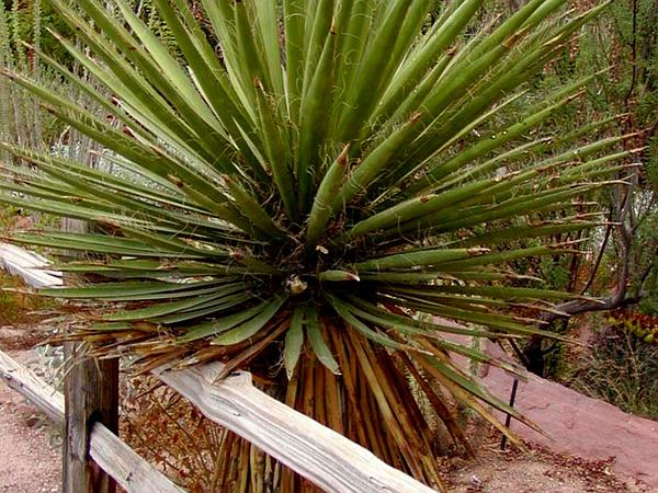 Eve's Needle (Yucca Faxoniana) http://www.sagebud.com/eves-needle-yucca-faxoniana