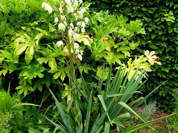 Adam's Needle (Yucca Filamentosa) http://www.sagebud.com/adams-needle-yucca-filamentosa