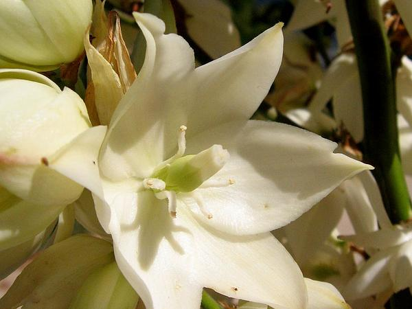 Weak-Leaf Yucca (Yucca Flaccida) http://www.sagebud.com/weak-leaf-yucca-yucca-flaccida