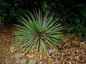 Soapweed Yucca