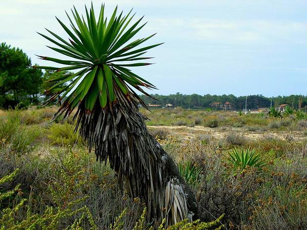 Moundlily Yucca (Yucca Gloriosa) http://www.sagebud.com/moundlily-yucca-yucca-gloriosa/
