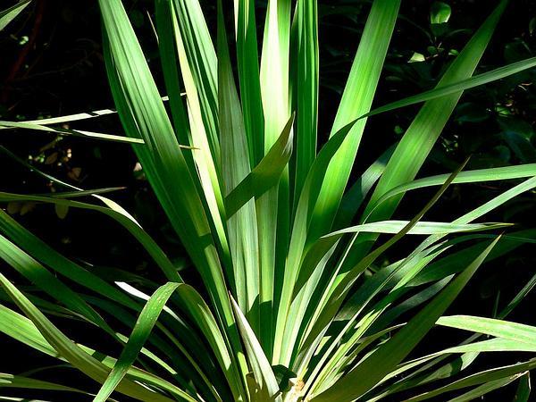 Curve-Leaf Yucca (Yucca Recurvifolia) http://www.sagebud.com/curve-leaf-yucca-yucca-recurvifolia