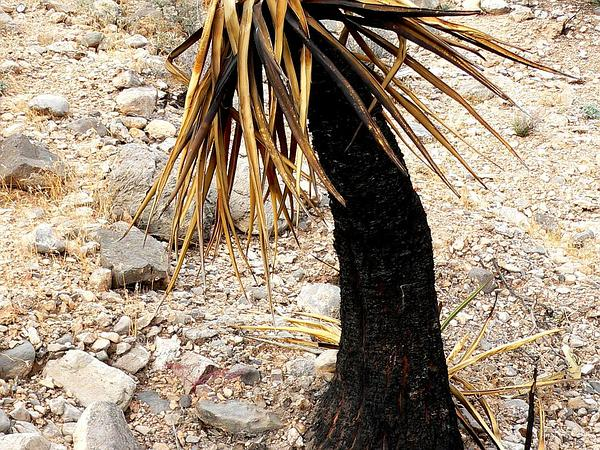 Mojave Yucca (Yucca Schidigera) http://www.sagebud.com/mojave-yucca-yucca-schidigera
