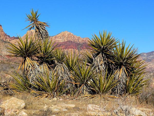 Mojave Yucca (Yucca Schidigera) http://www.sagebud.com/mojave-yucca-yucca-schidigera/