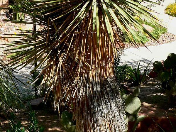Thompson's Yucca (Yucca Thompsoniana) http://www.sagebud.com/thompsons-yucca-yucca-thompsoniana