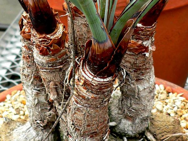 Torrey's Yucca (Yucca Torreyi) http://www.sagebud.com/torreys-yucca-yucca-torreyi