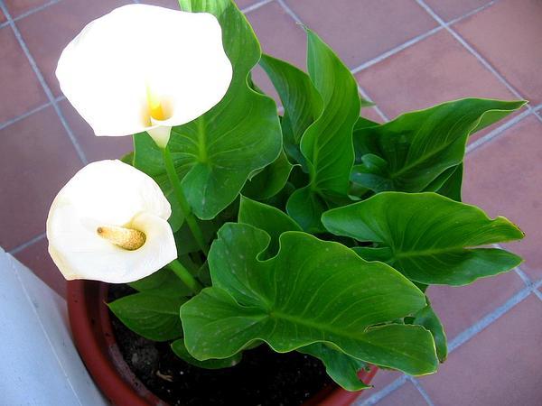Calla Lily (Zantedeschia Aethiopica) http://www.sagebud.com/calla-lily-zantedeschia-aethiopica
