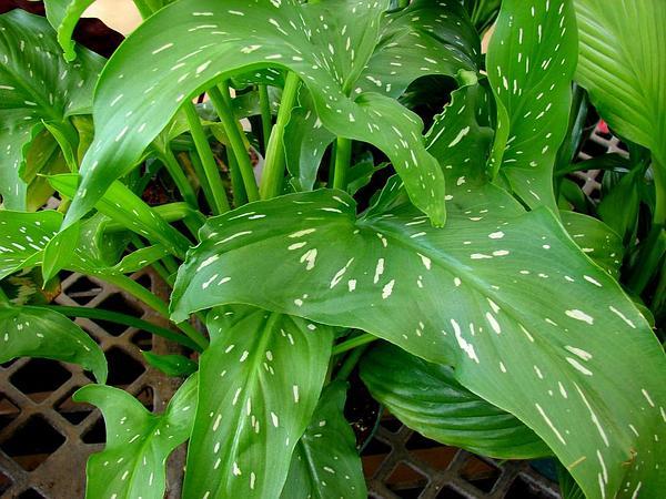 Spotted Calla Lily (Zantedeschia Albomaculata) http://www.sagebud.com/spotted-calla-lily-zantedeschia-albomaculata