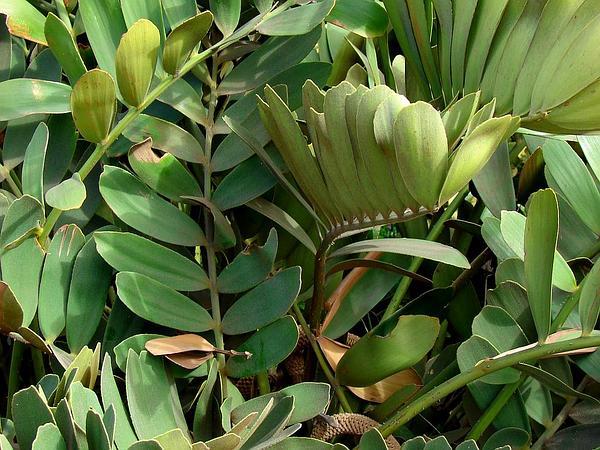 Cardboard Palm (Zamia Furfuracea) http://www.sagebud.com/cardboard-palm-zamia-furfuracea