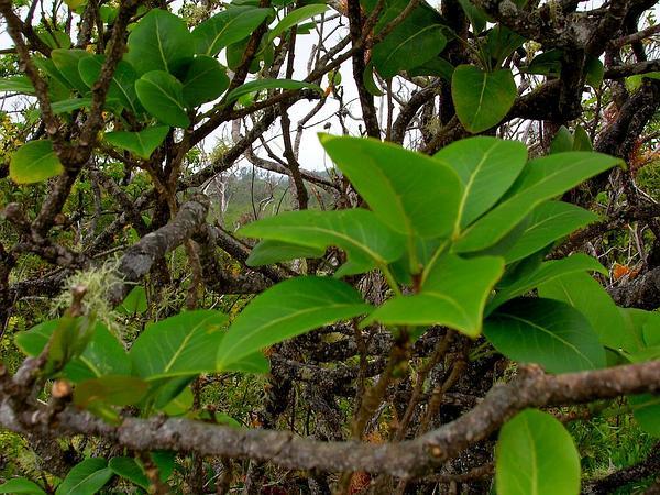 Kauai Pricklyash (Zanthoxylum Kauaense) http://www.sagebud.com/kauai-pricklyash-zanthoxylum-kauaense