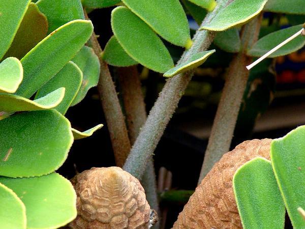 Zamia (Zamia) http://www.sagebud.com/zamia-zamia/