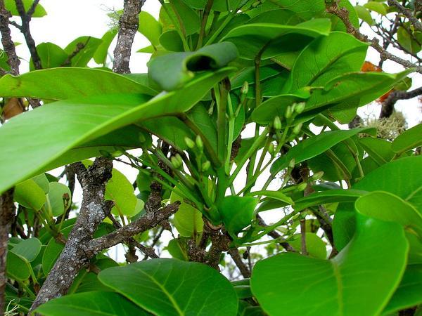Pricklyash (Zanthoxylum) http://www.sagebud.com/pricklyash-zanthoxylum/