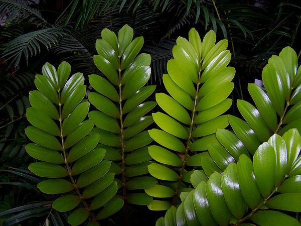 Coontie (Zamia Pumila) http://www.sagebud.com/coontie-zamia-pumila