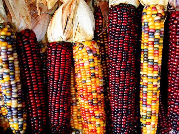 Corn (Zea) http://www.sagebud.com/corn-zea