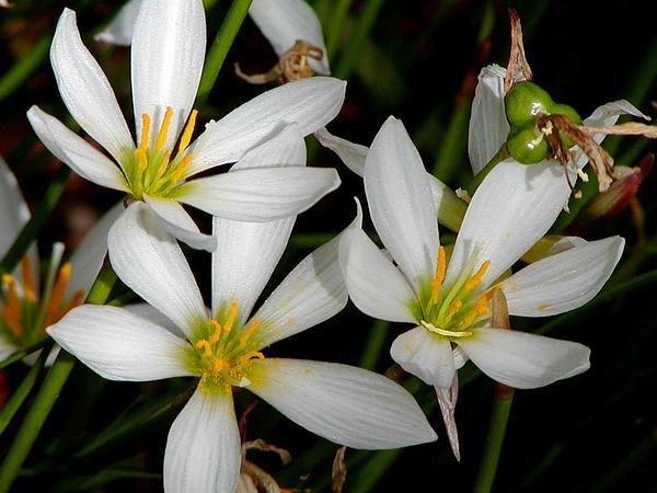 Autumn Zephyrlily (Zephyranthes Candida) http://www.sagebud.com/autumn-zephyrlily-zephyranthes-candida