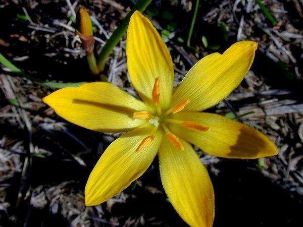 Citron Zephyrlily (Zephyranthes Citrina) http://www.sagebud.com/citron-zephyrlily-zephyranthes-citrina/