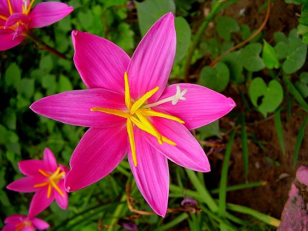 Rosepink Zephyrlily (Zephyranthes Grandiflora) http://www.sagebud.com/rosepink-zephyrlily-zephyranthes-grandiflora