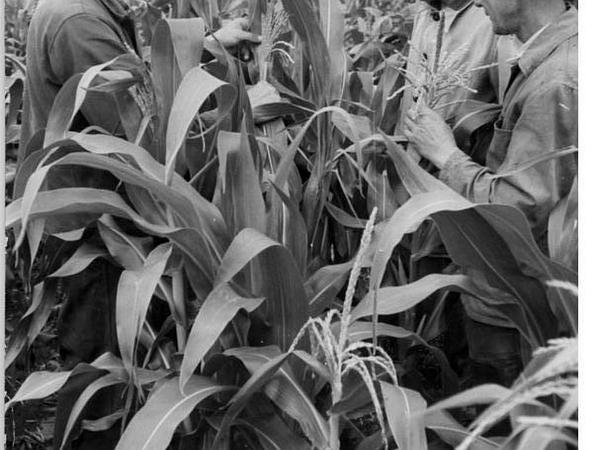 Corn (Zea Mays) http://www.sagebud.com/corn-zea-mays