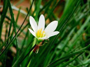 Zephyrlily