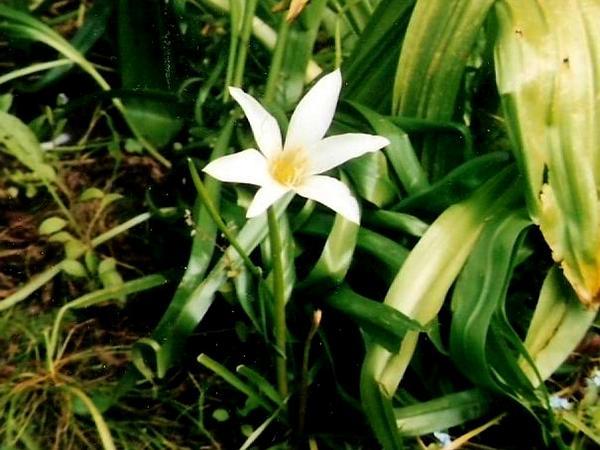 Zephyrlily (Zephyranthes) http://www.sagebud.com/zephyrlily-zephyranthes/